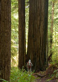 Standing Among the Giants. A hiker is dwarfed by a giant redwood tree in Northern California Royalty Free Stock Photography
