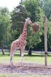 Standing giraffe eats grass Stock Photo