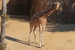 Standing giraffe Royalty Free Stock Photography