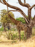 Standing giraffe Royalty Free Stock Images