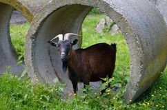 Standing goat. Goat standing in concrete cylinders in nature. Looks forward Stock Photography