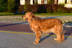 Standing Golden Retriever with Tennis Ball Royalty Free Stock Photography