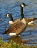 Standing goose Stock Image