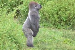 Standing gorilla. A male western-lowland gorilla standing in grass Stock Photos
