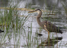 Standing Great Blue Heron Stock Images