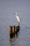 STANDING GREAT EGRET Royalty Free Stock Photos