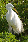 Standing Great Egret. An image of a Great Egret shot in the rookery at Gatorland, Kissimmee, FL Royalty Free Stock Images