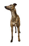 Standing Greyhound Isolated on White Stock Image