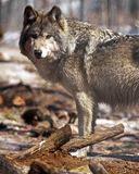 Standing Ground. A timber wolf (canis lupus) in the forest Royalty Free Stock Image