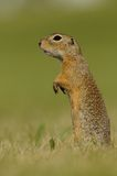 Standing Ground Squirrel. This ground squirrel is watching for danger. You can also call it european souslik Stock Photo
