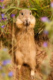 Standing Ground squirrel Royalty Free Stock Images