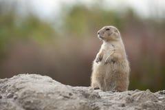 Standing groundhog Stock Image