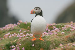 Puffin in the thrift Royalty Free Stock Images