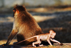 Standing guard. A macaque stands guard as the macaque as the infant plays around Stock Photos
