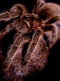 Standing Guard. Macro image of pet tarantula spider still on Royalty Free Stock Image