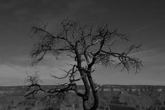 Standing guard over the Grand Canyon. This lone yet powerful tree stands guard over the Grand Canyon Stock Images