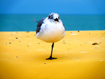 Standing Gull on the Gulf of Mexico. A gull standing on a goin on the Gulf of Mexico on St. Pete Beach, Florida royalty free stock photos