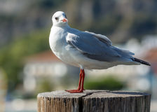Standing gull Stock Photography