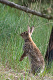 Standing hare in dunes Stock Images