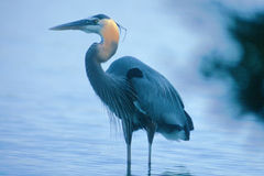 Standing heron. A great blue heron standing in a pond Royalty Free Stock Images