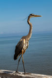 Standing Heron stock photography