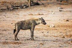 Standing hyena Stock Photo