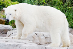 Standing ice bear. On a rock in front of a green background royalty free stock images