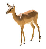 Standing impala Royalty Free Stock Photo