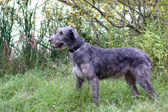 Standing irish wolfhound Stock Photos