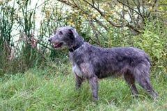 Standing irish wolfhound Stock Photos