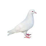 Standing isolated white dove Royalty Free Stock Photo