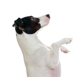 Standing jack russel terrier Royalty Free Stock Photography