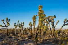 Standing Joshua Trees in Mojave. Standing Joshua trees in the sand desert of southwest California near Palmdale Stock Photo