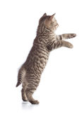 Standing or jumping kitten cat rear view Stock Images