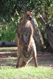 Standing Kangaroo royalty free stock images