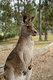 Standing Kangaroo Royalty Free Stock Photography
