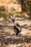 Standing kangaroo Royalty Free Stock Photography