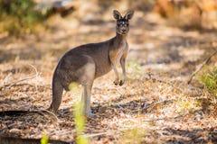 Standing kangaroo in the wild Stock Photos