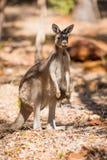 Standing kangaroo in the wild Stock Photography