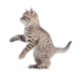 Standing kitten cat side view isolated royalty free stock photo