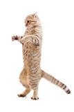Standing kitten or cat striped like Godzilla. Isolated stock image