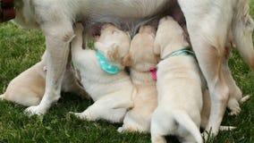 Standing labrador dog nursing her adorable puppies - closeup stock video footage