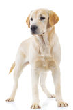 Standing labrador retriever dog is looking away Royalty Free Stock Photos