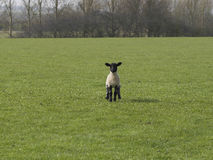 Standing lamb with black head ears and legs Royalty Free Stock Images