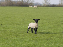 Standing lamb with black head ears and legs Stock Photography