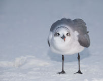 Standing Laughing Gull Stock Photography