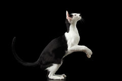 Standing on legs Black and White Oriental cat Isolated on Black Royalty Free Stock Images