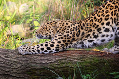 Standing leopard Royalty Free Stock Image