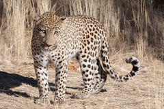 Standing leopard Stock Image