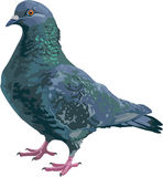 Standing lifelike full color pigeon Royalty Free Stock Photography